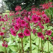 Примула японская (Primula japonica)