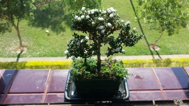 Серисса японская (Serissa japonica), ранее Серисса вонючая (Serissa foetida)