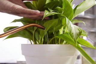 Полив комнатного растения водой с добавлением жидкого удобрения