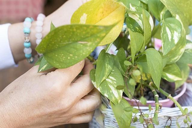 Признаки нехватки питательных веществ у комнатного растения
