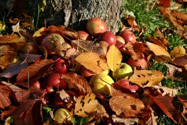 Уборка мусора под яблонями