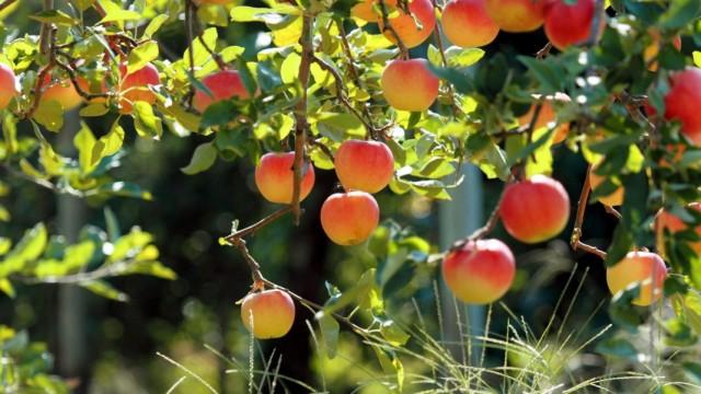 Осенний уход за яблонями по правилам