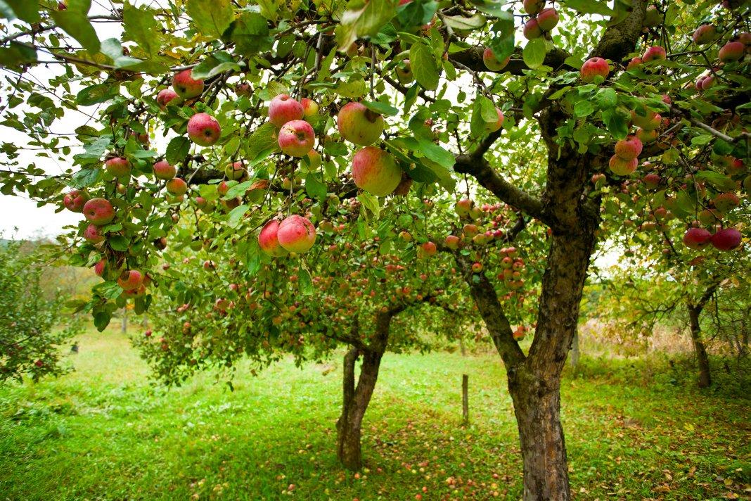 подкормка плодовых осенью