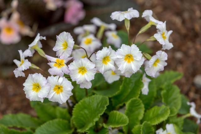 Примула обыкновенная «Карригдайл» (Primula vulgaris 'Carrigdale')