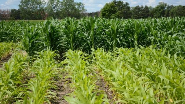 Кукуруза, обрабатываемая азотными удобрениями (задний план) и не обрабатываемая