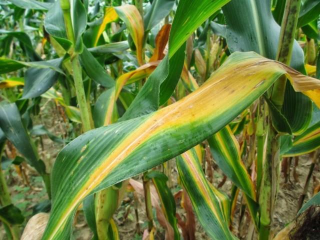 Признаки нехватки азота на листьях кукурузы