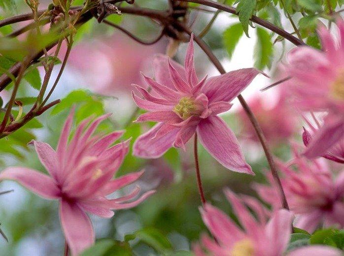 Clematis-Markhams-Pink-1