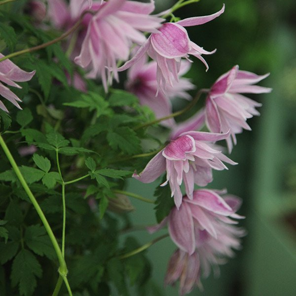 Clematis-Markhams-Pink-3