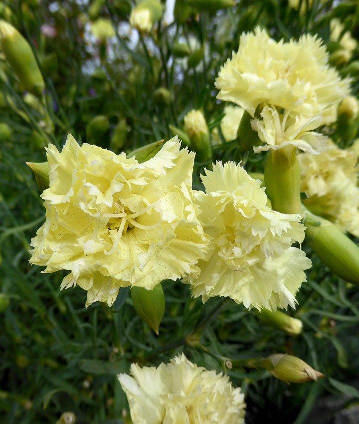 Dianthus-caryophyllus-Grenadin-Yellow-1