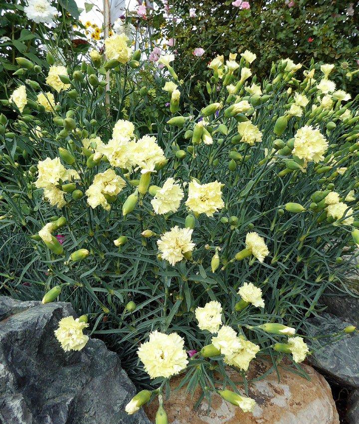 Dianthus-caryophyllus-Grenadin-Yellow-2