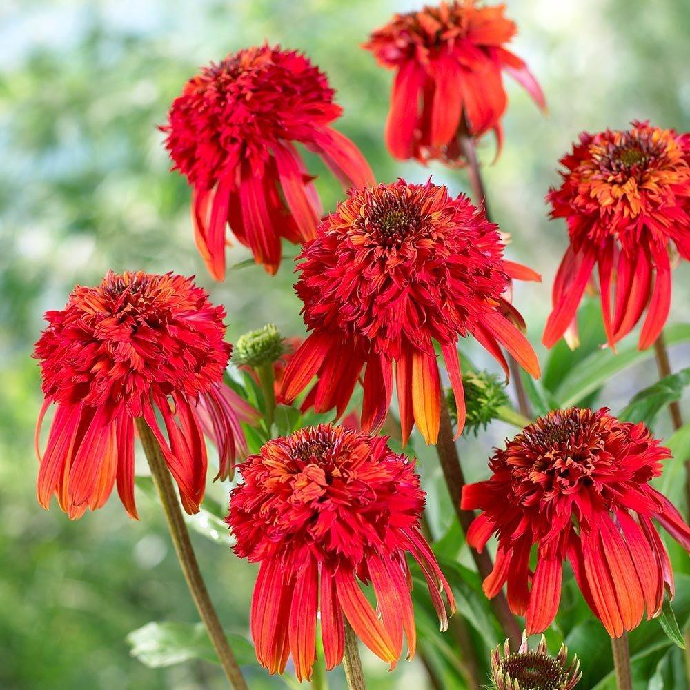 Echinacea-purpurea-Hot-Papaya-1