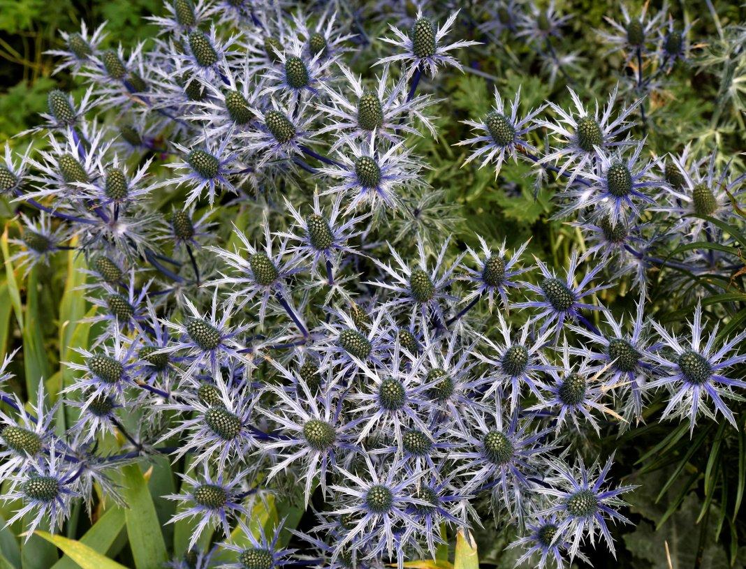 семена синеголовника