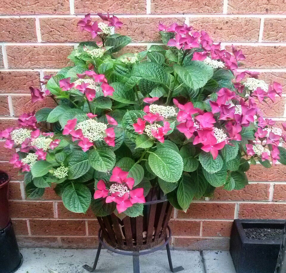 Hydrangea-macrophylla-Strawberries-Cream-2