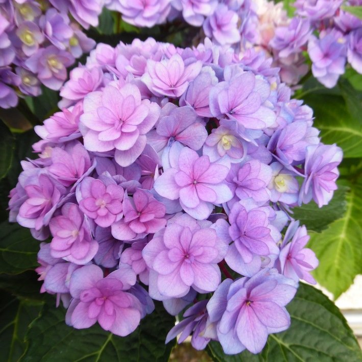 Hydrangea-macrophylla-You-Me-Series-1