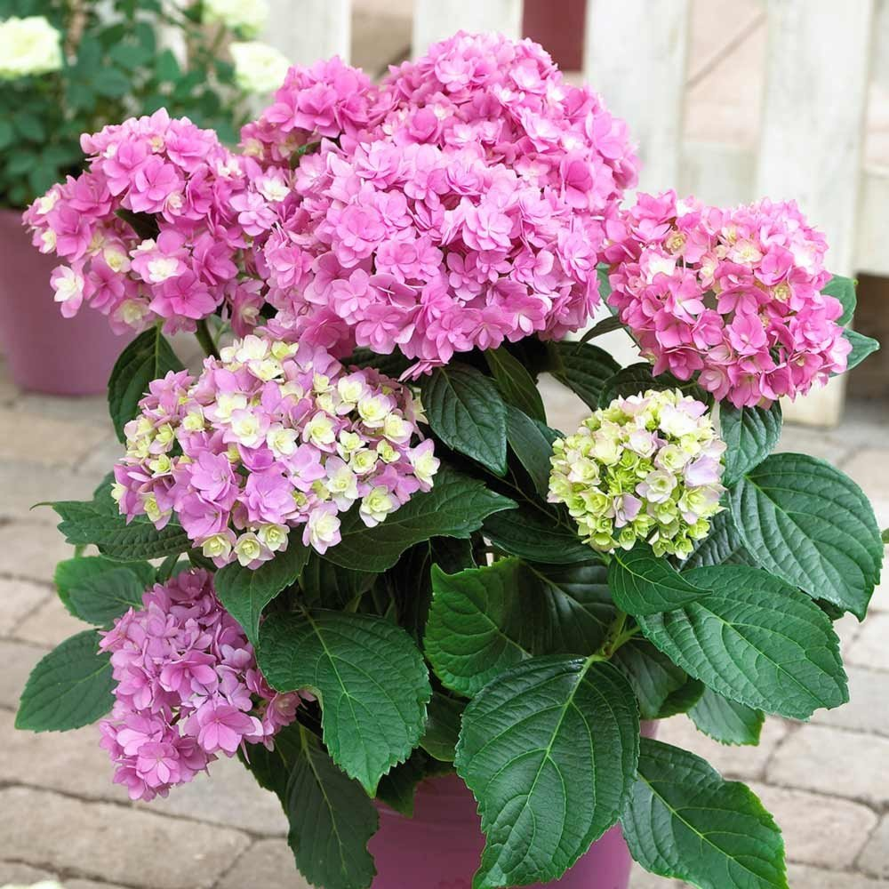 Hydrangea-macrophylla-You-Me-Series-2
