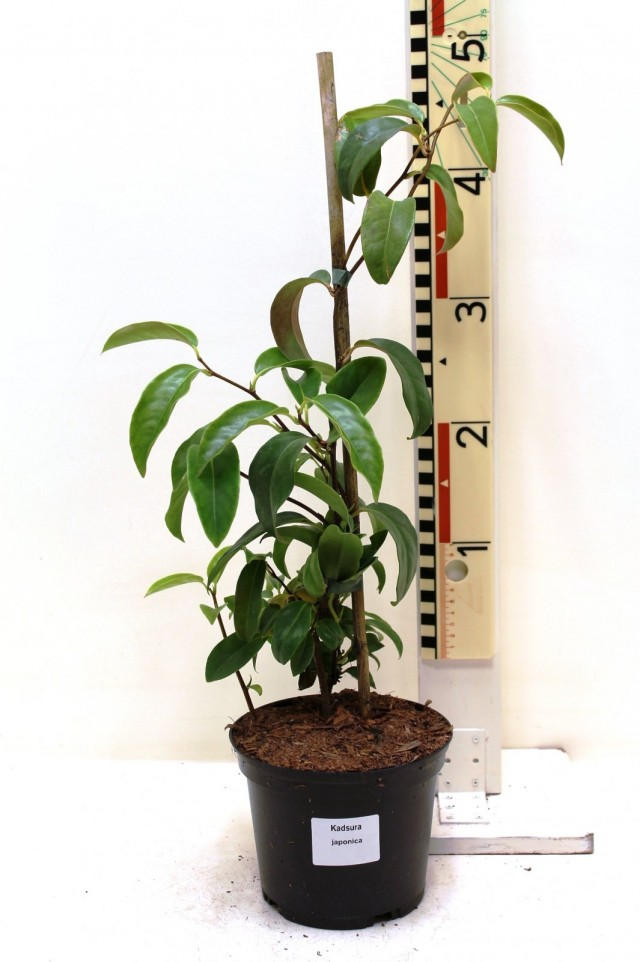 Кадсура японская (Kadsura japonica)