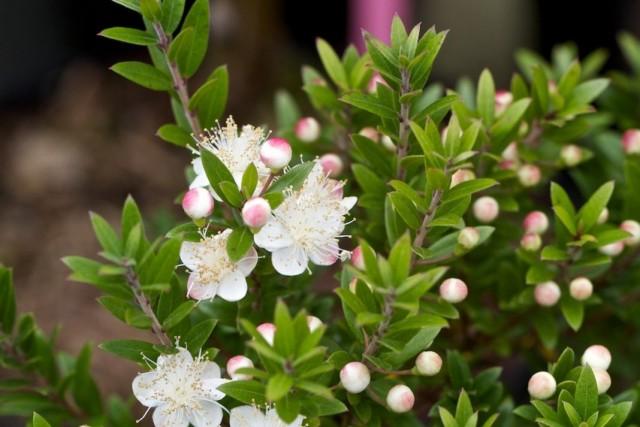 Мирт обыкновенный (Myrtus communis)