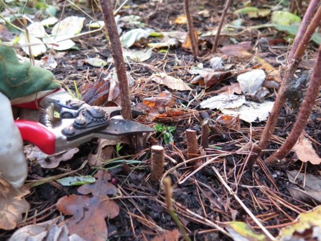 Осенняя обрезка ежевики