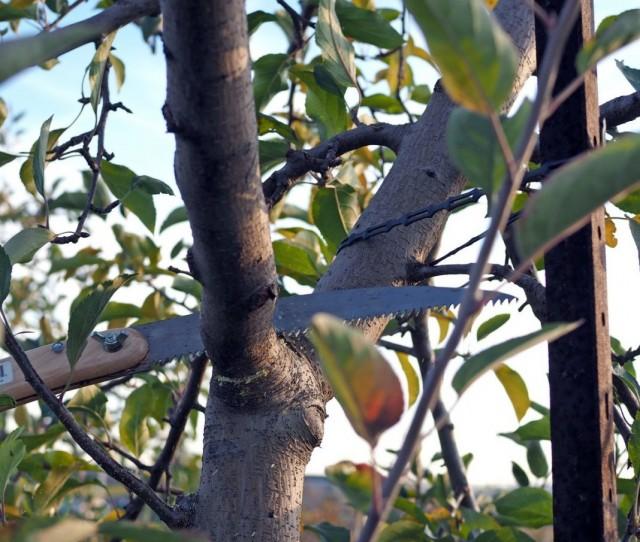 Проводя обрезку плодовых деревьев не оставляйте пеньков и задиров коры