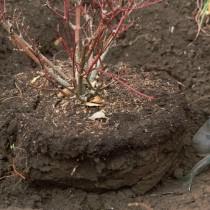 Вынимаем куст с комом земли