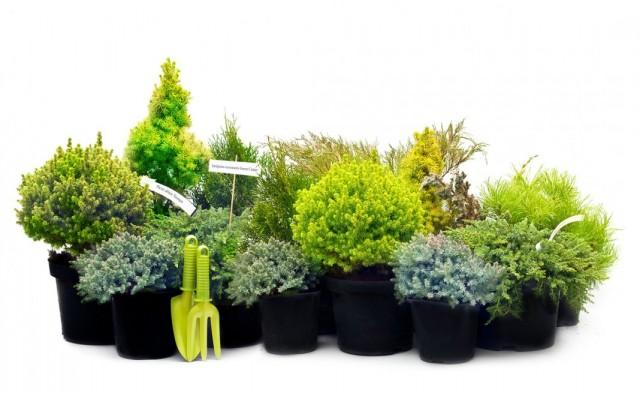 Хвойные растения в контейнерах