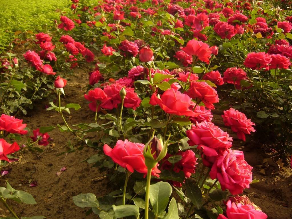 Rosa-Dame-de-Coeur-2