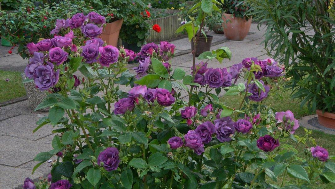 Rosa-Rhapsody-in-Blue-2