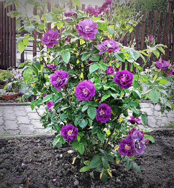 Rosa-Rhapsody-in-Blue-3