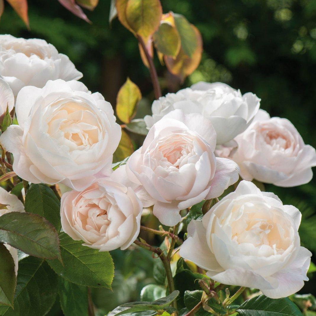 Rose-Desdemona-1