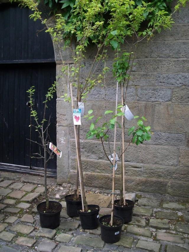 Саженцы сливовых деревьев