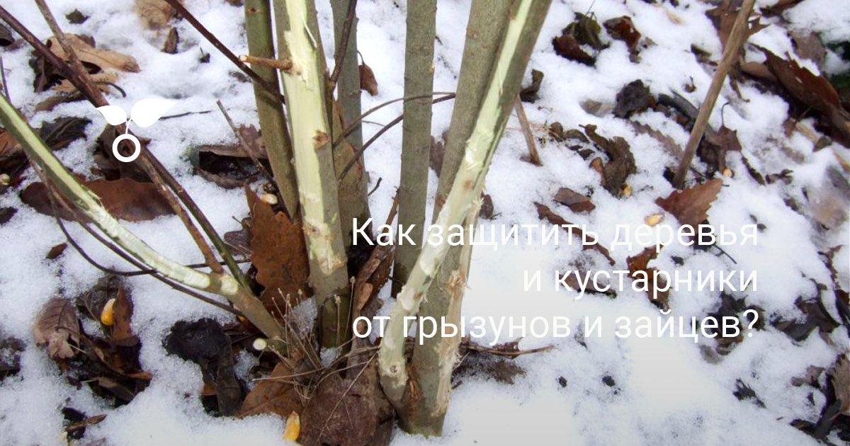 Как уберечь молодые деревья от зайцев