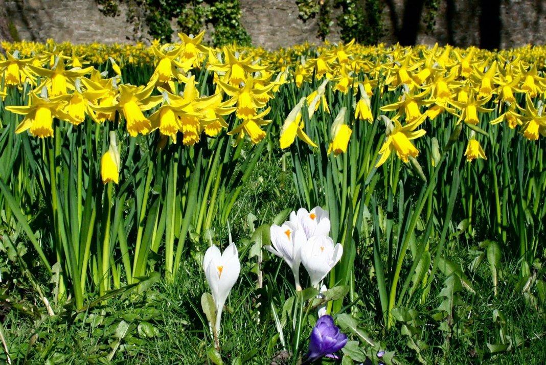 Как посадить нарциссы, чем их подкармливать до и после цветения