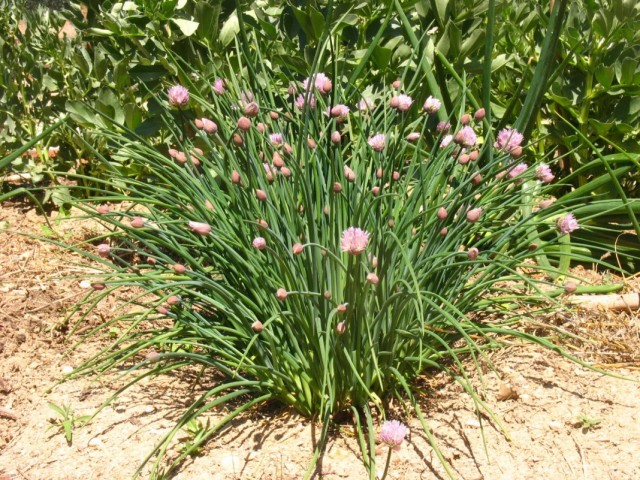 Куст шнитт-лука во время цветения