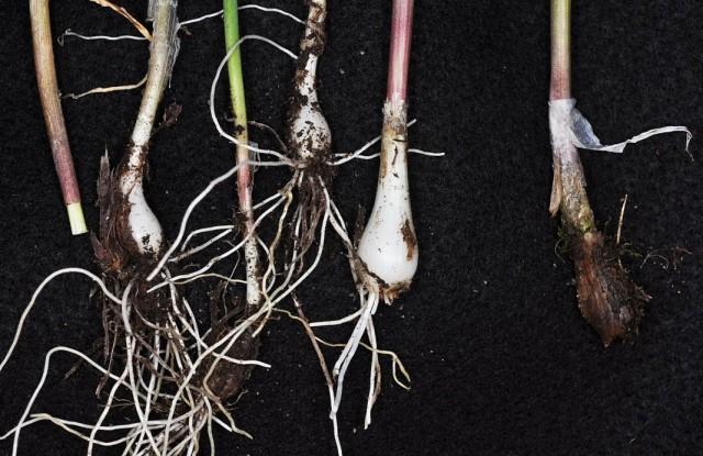 Разделённые луковицы лука скорода