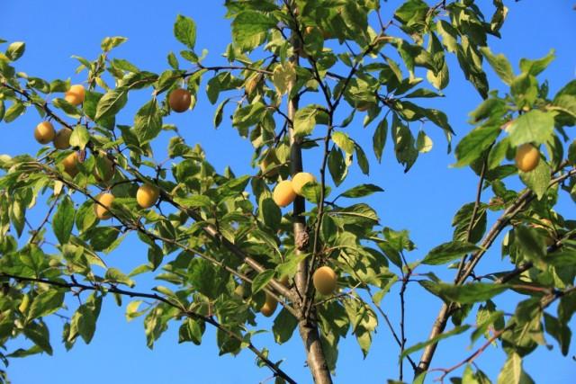 Плоды алычи сорта Злато скифов на дереве