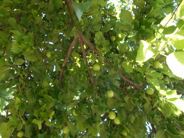Плоды алычи сорта несмеяна на дереве