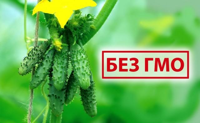 Сорта и гибриды огурцов без ГМО от агрофирмы Аэлита