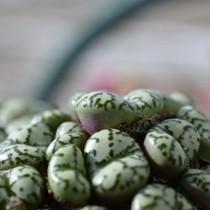Конофитум (Conophytum obcordellum)