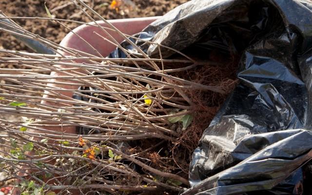 Молодые саженцы боярышника для высадки живой изгороди