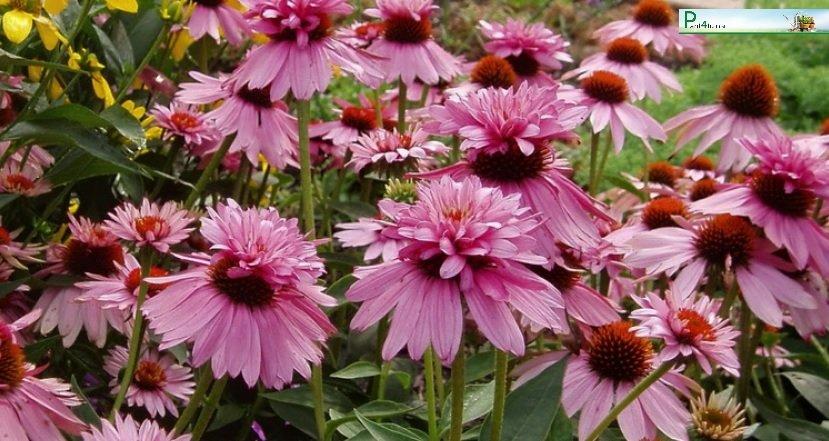 Echinacea-purpurea-Double-Decker-2