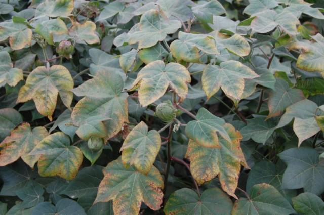 Признак недостатка фосфора в растении