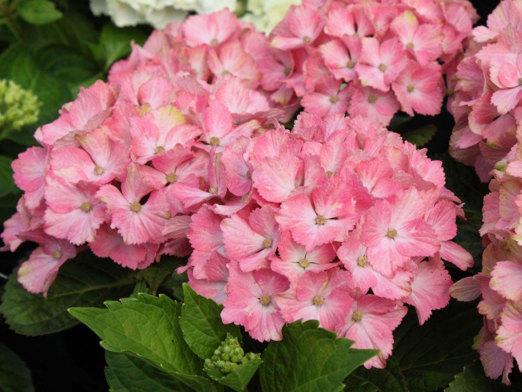 гортензия розовая сорта и фото
