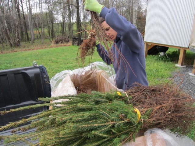 Подготовка к сохранению на зиму саженцев плодовых культур и хвойных
