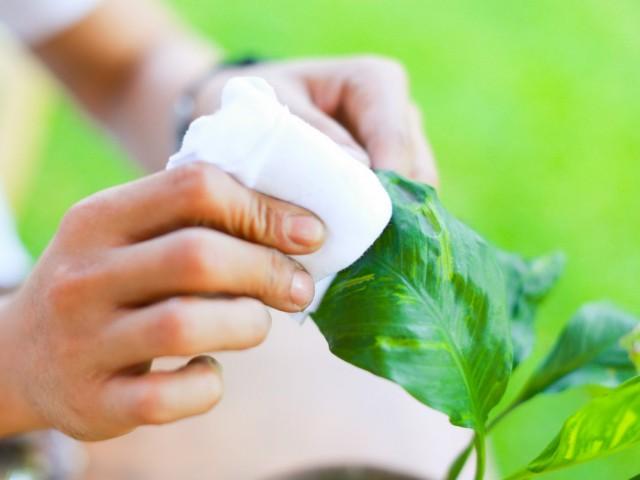Очистка листьев комнатных растений от пыли и грязи и наведение блеска