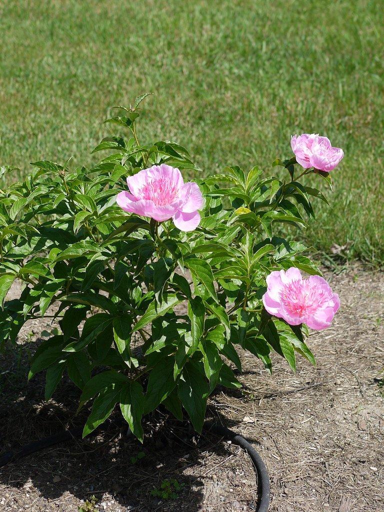 Paeonia-lactiflora-Fancy-Nancy-3