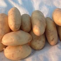 Сорт картофеля для Волго-Вятского региона - Алиса