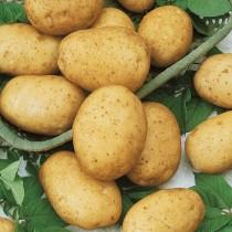 Сорт картофеля для Уральского региона - Горняк
