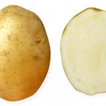 Сорт картофеля для Северо-Кавказского региона - Горянка