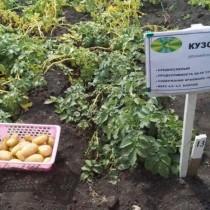 Сорт картофеля для Уральского региона - Кузовок