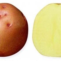 Сорт картофеля для Восточно-Сибирского региона - Кузнечанка